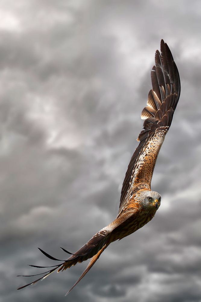 Red Kite in flight by wildlife photographer Martin Lawrence