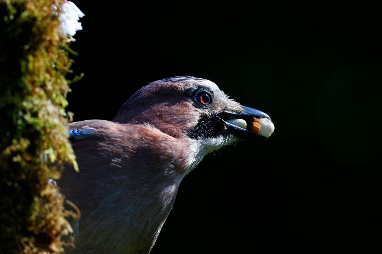 A Greedy Jay by wildlife photographer Martin Lawrence