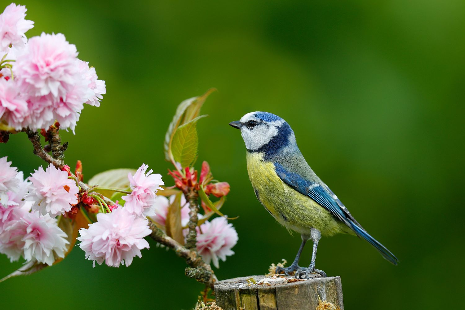 A Blue Tit amongst the Cherry Blossom by wildlife photographer Martin Lawrence