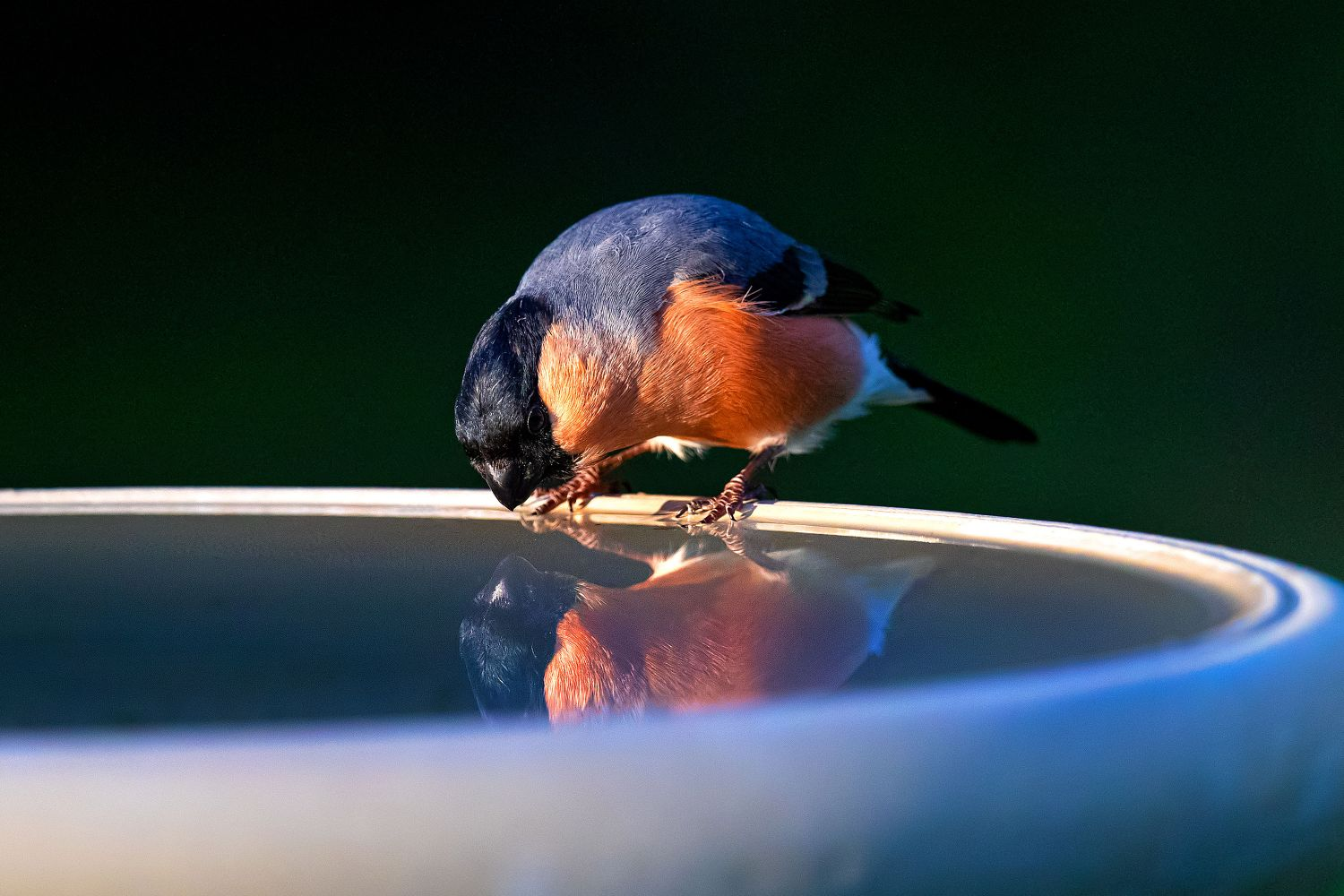 Bullfinch reflection in a pool of water by Martin Lawrence