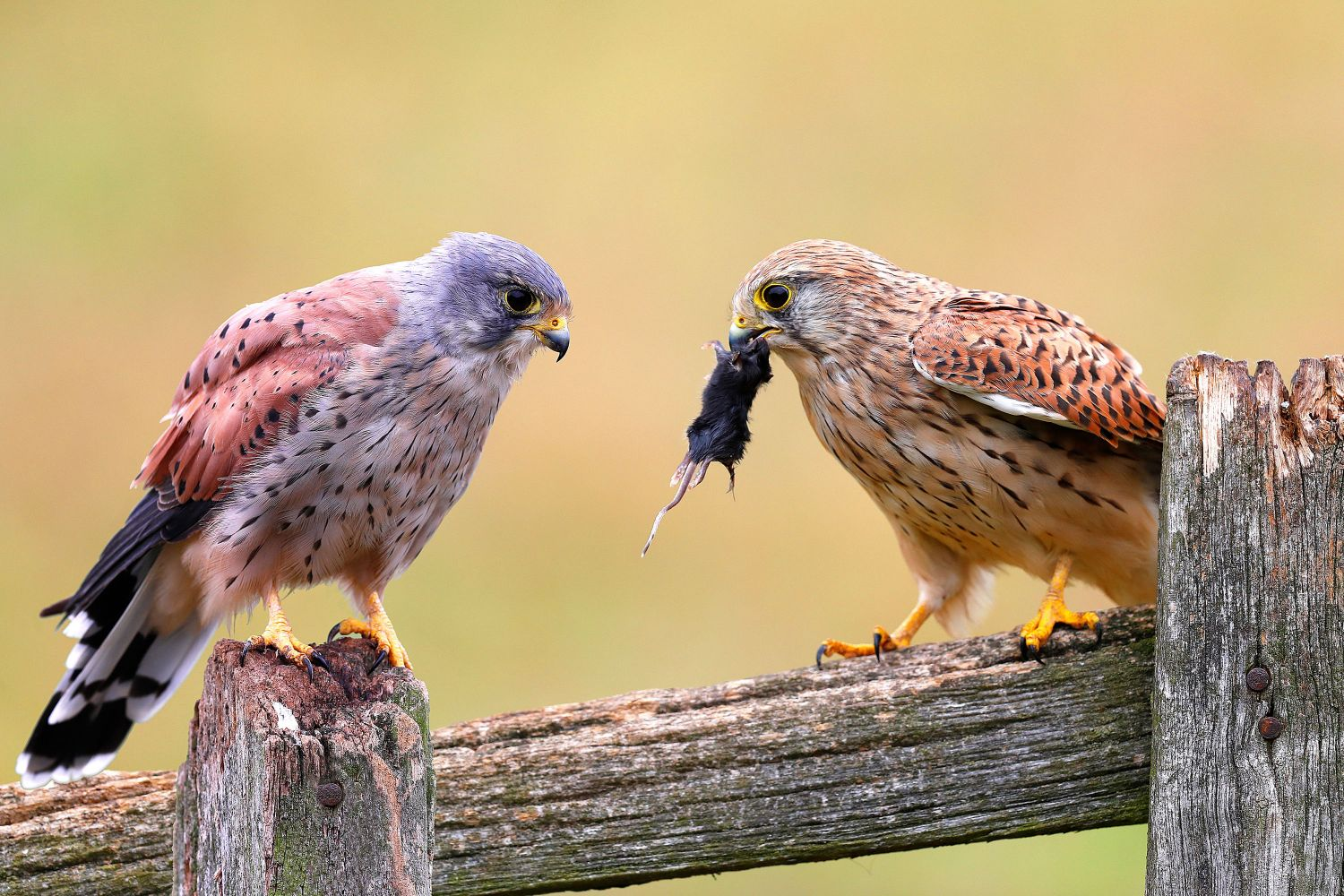 Calm before the storm as two Kestrels check out lunch