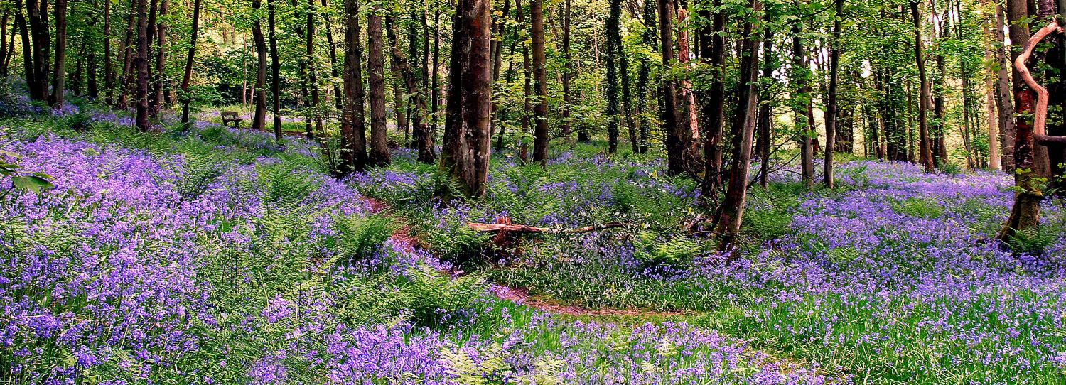 A panoramic view of the bluebells at Calder Vale, Lancashire