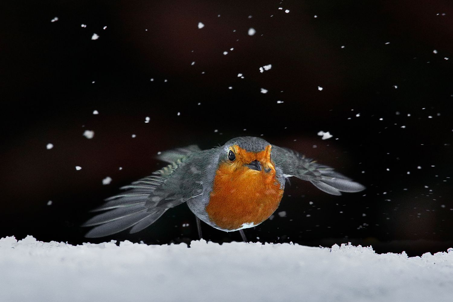 Robin amongst the snow in winter by Martin Lawrence