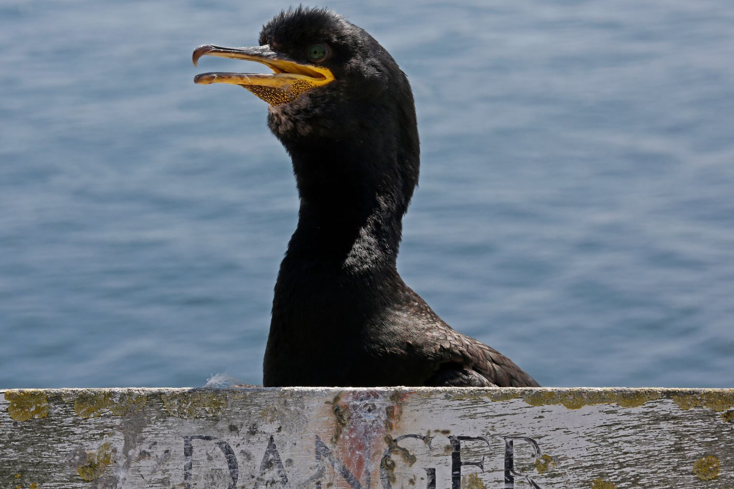 A Shag on Farne Islands with it's head above a warning sign.