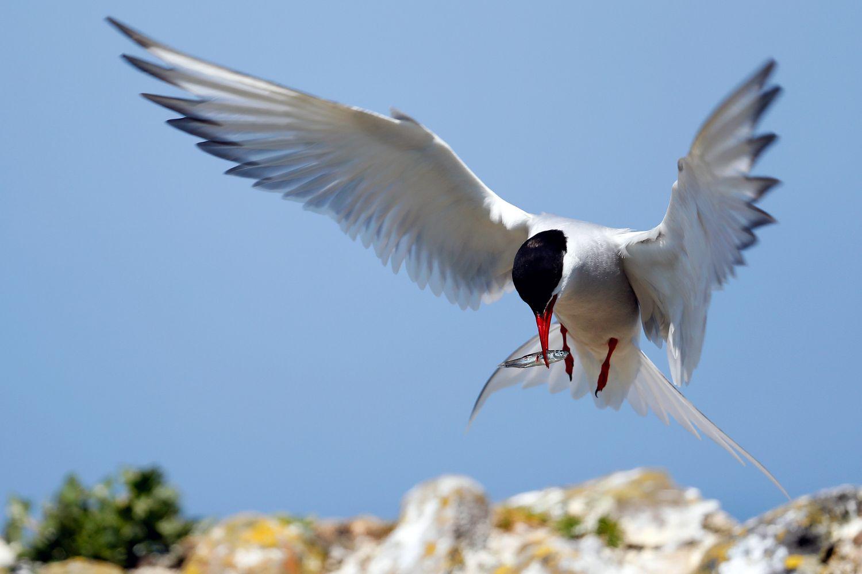 Arctic Tern feeding on Farne Islands with plenty of fish