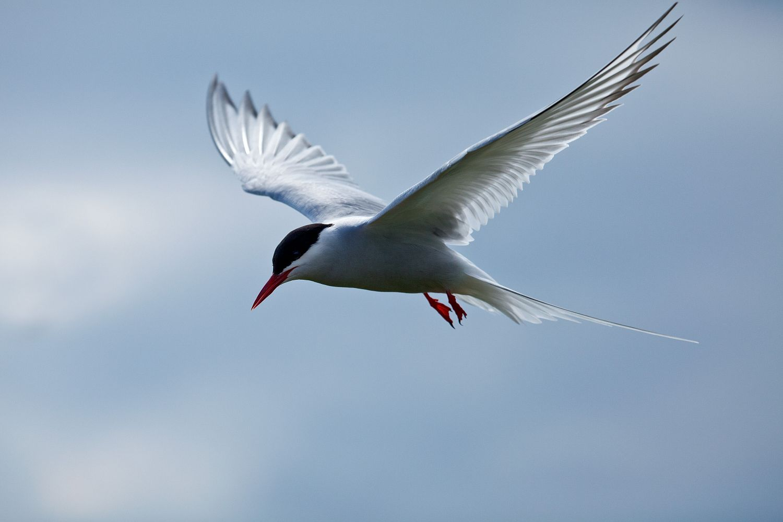 Arctic Tern on Inner Farne