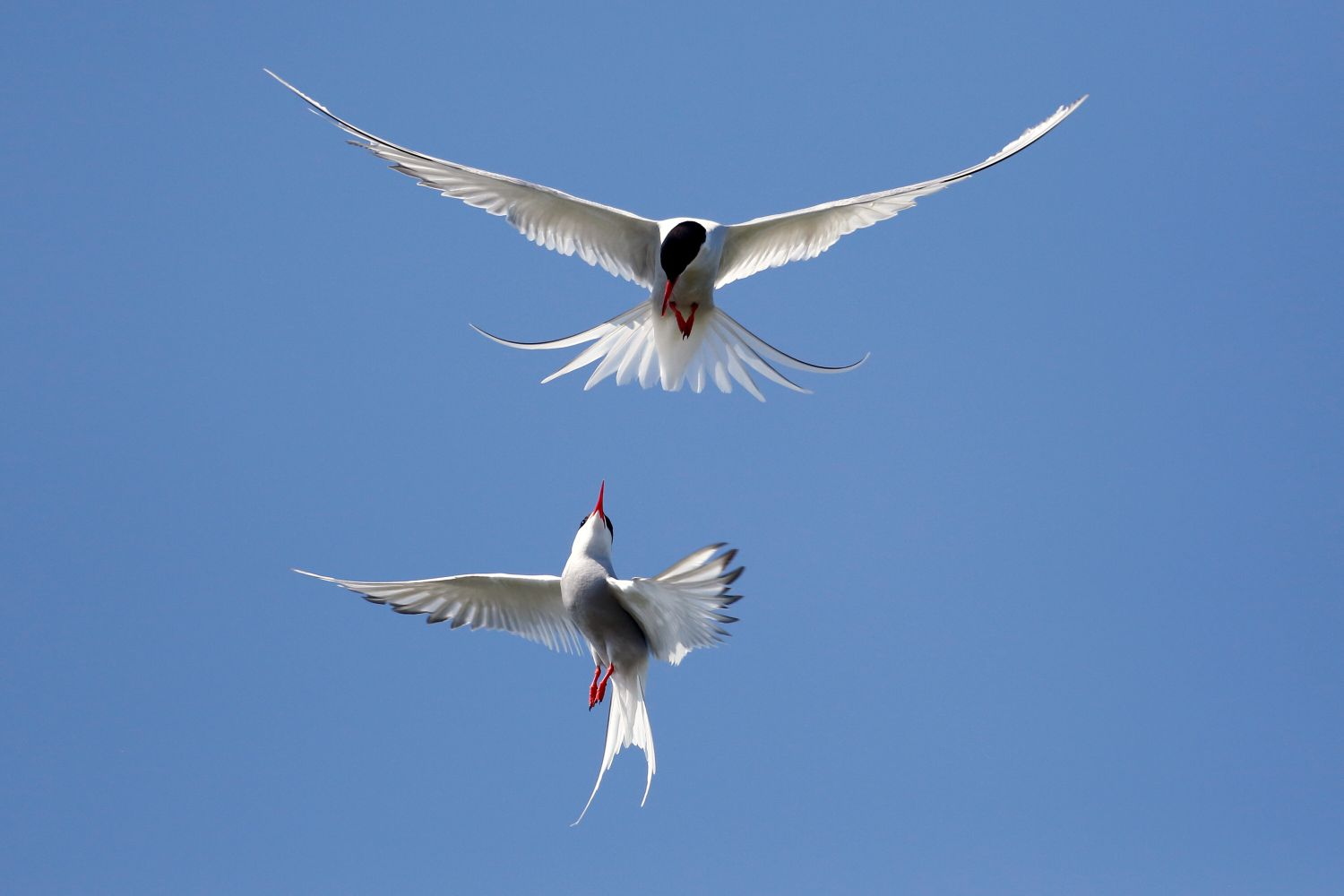 Arctic Tern acrobatics on the Farne Islands