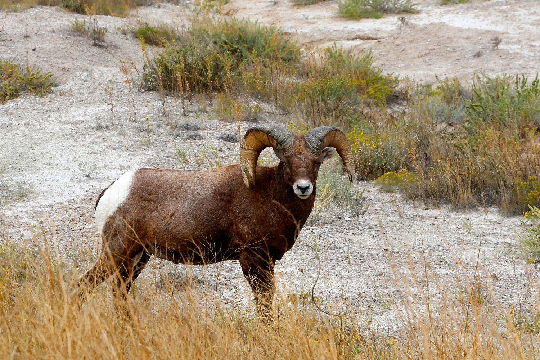 Bighorn sheep at Badlands in the USA