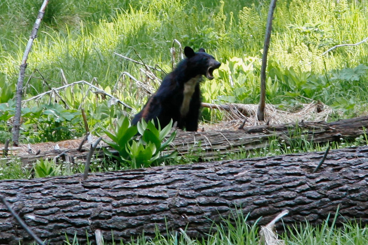 Black Bear at Sequoia NP playing amongst the trees