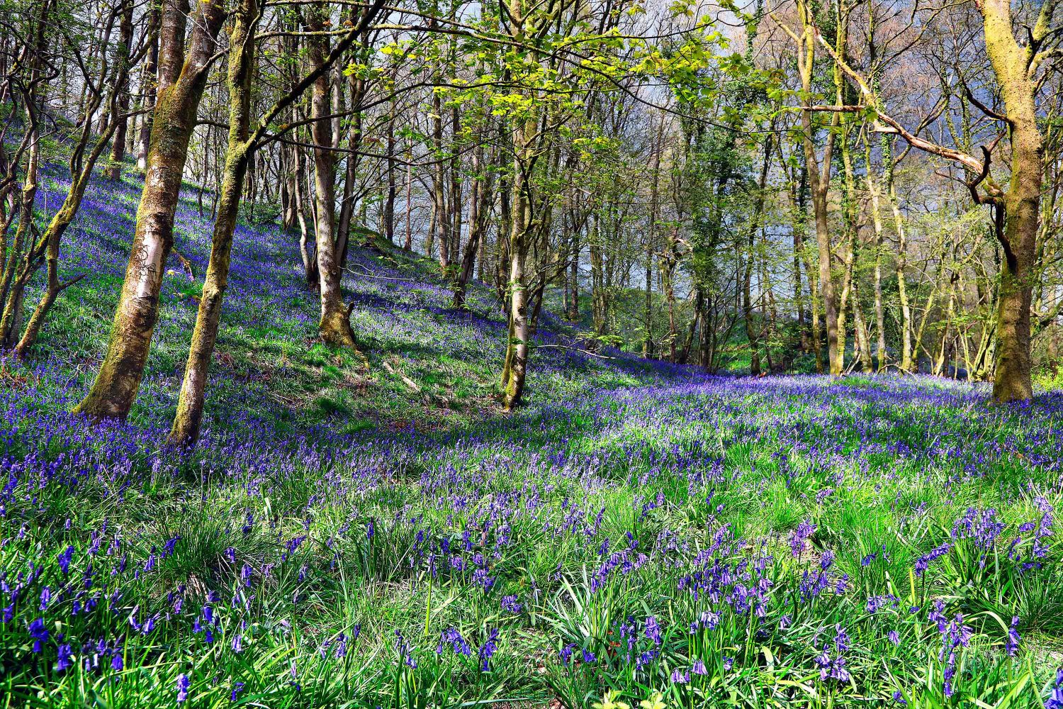 The Calder Vale Bluebells by Martin Lawrence
