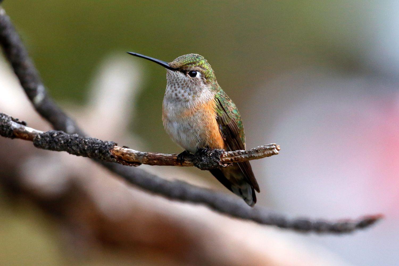 Broad-tailed Hummingbird at Estes Park USA