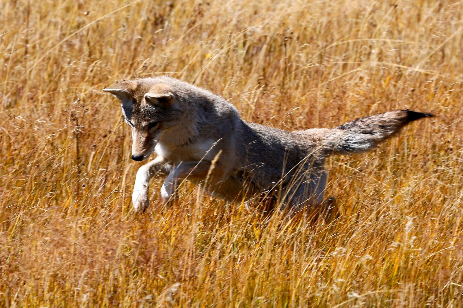 Coyote hunting in Yellowstone NP
