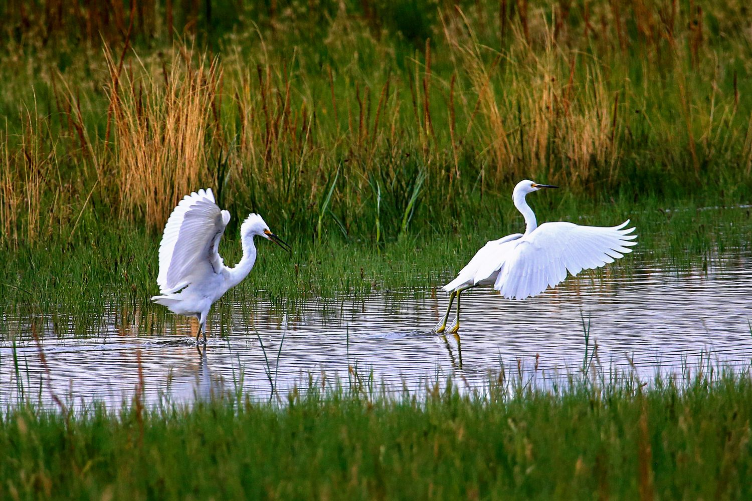 A beautiful pair of Egrets displaying near Salt Lake City in the USA.