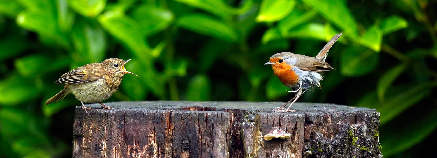 Robin and son of Robin on a tree stump