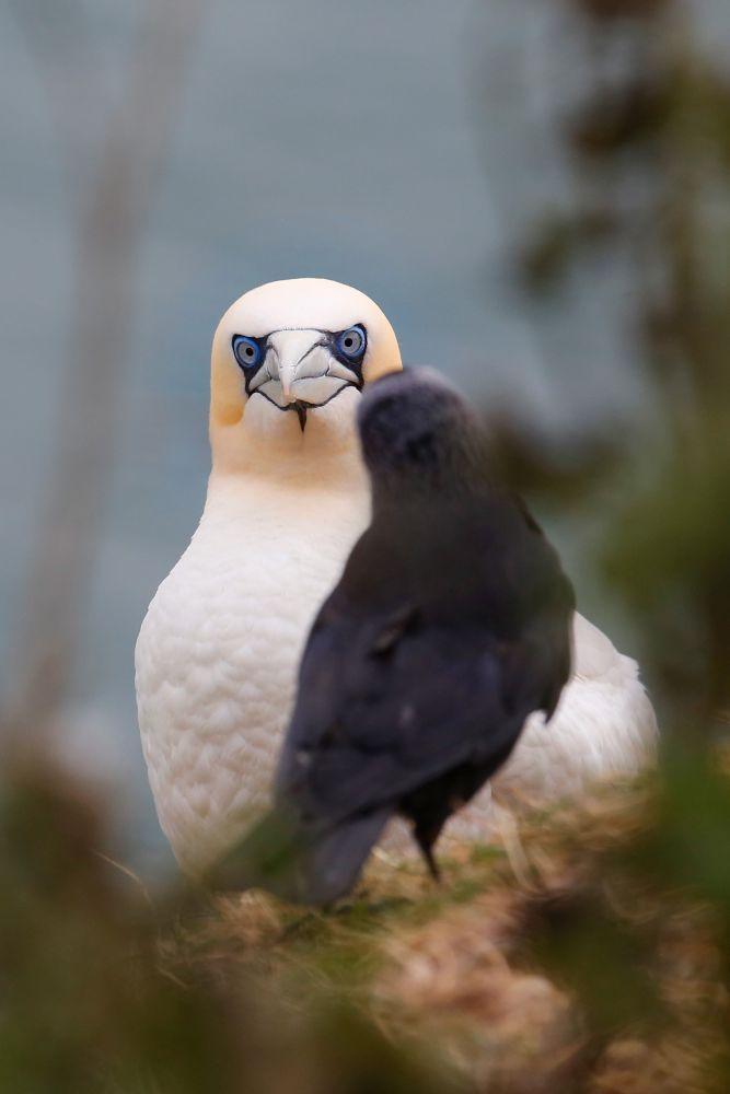 Gannet and Crow standoff at the Bempton Cliffs RSPB centre