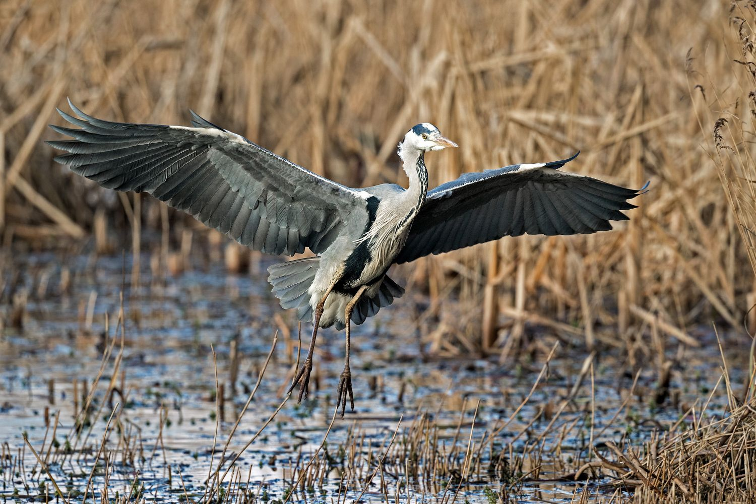 Grey Heron at RSPB centre Leighton Moss