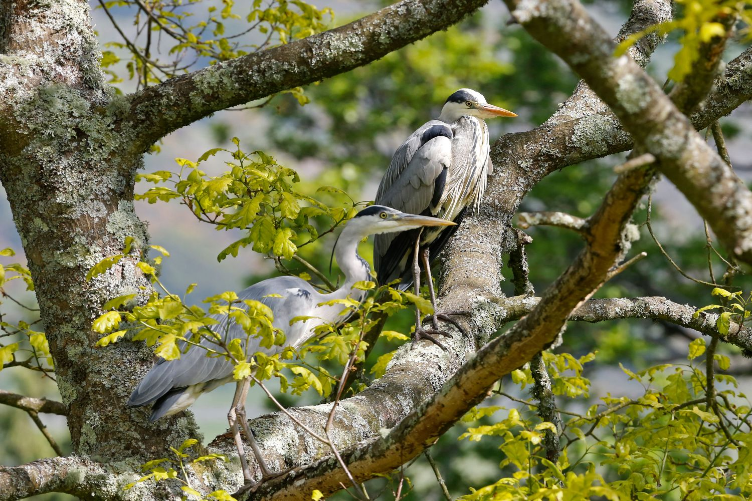 Two Grey Herons sunning themselves in an oak tree