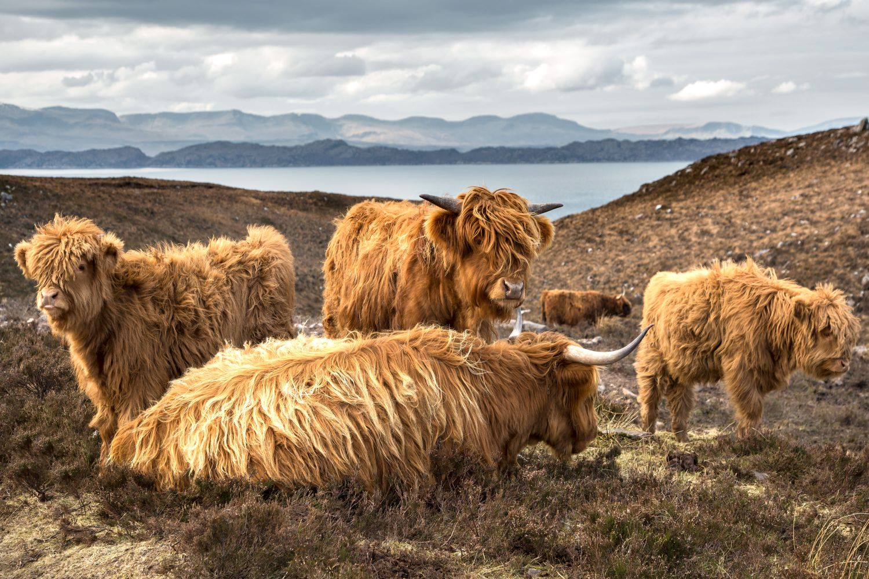 A family of Highland Cows near Applecross Torridon
