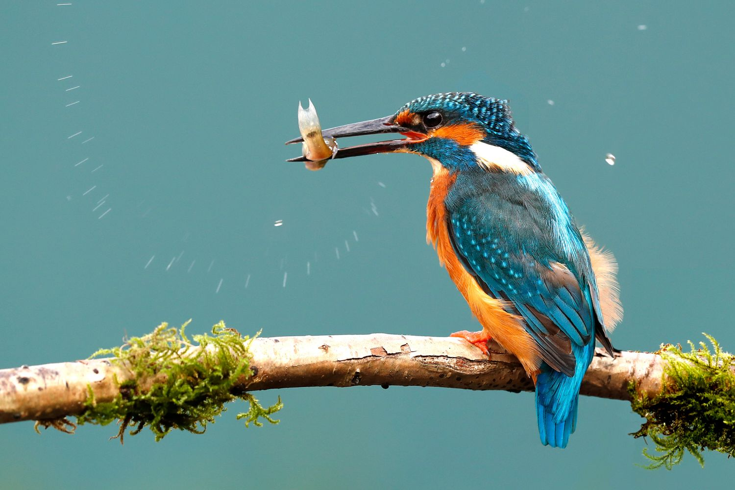 Kingfisher Feeding with a fish in it's mouth