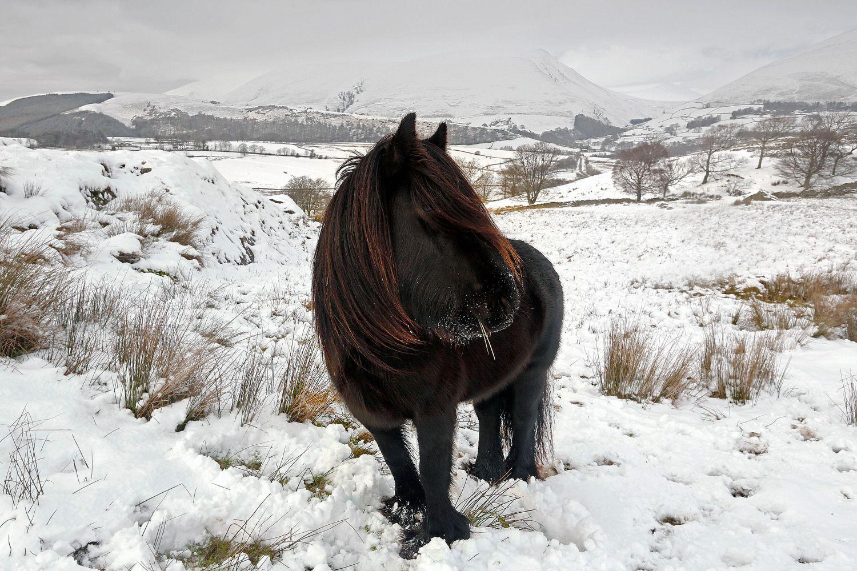 Lakeland Pony near Tewet Tarn