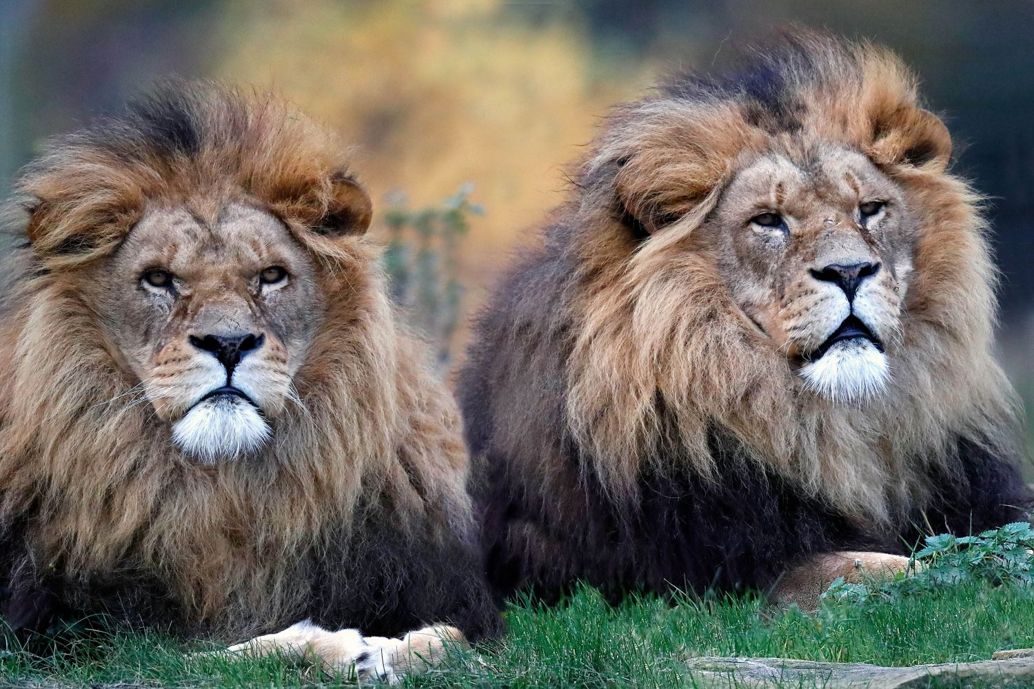 Male Lions on guard