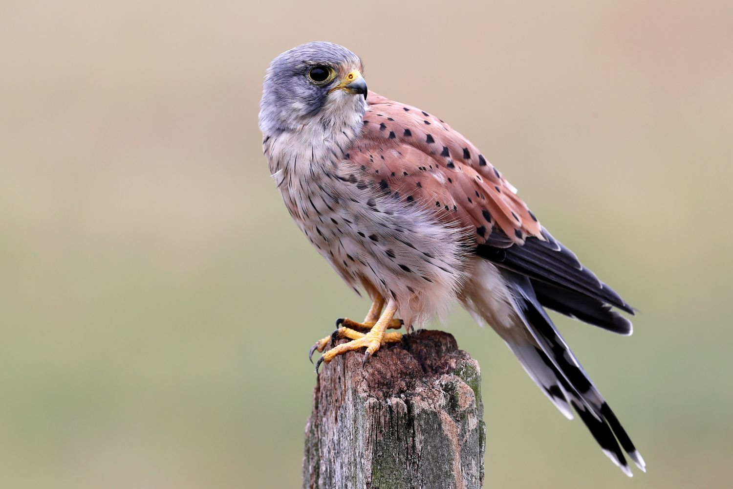 Male kestrel resting on a fence post in the Worcestershire countryside