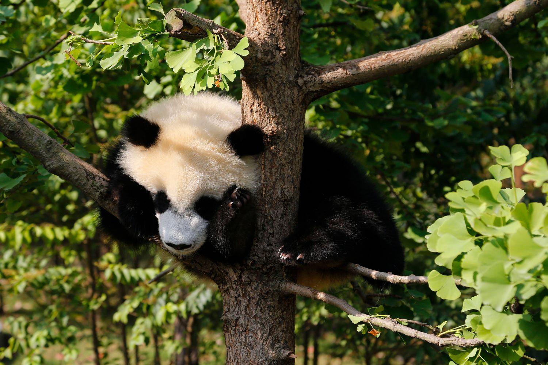 Panda at Chengdu Sanctuary lazing in the summersunshine