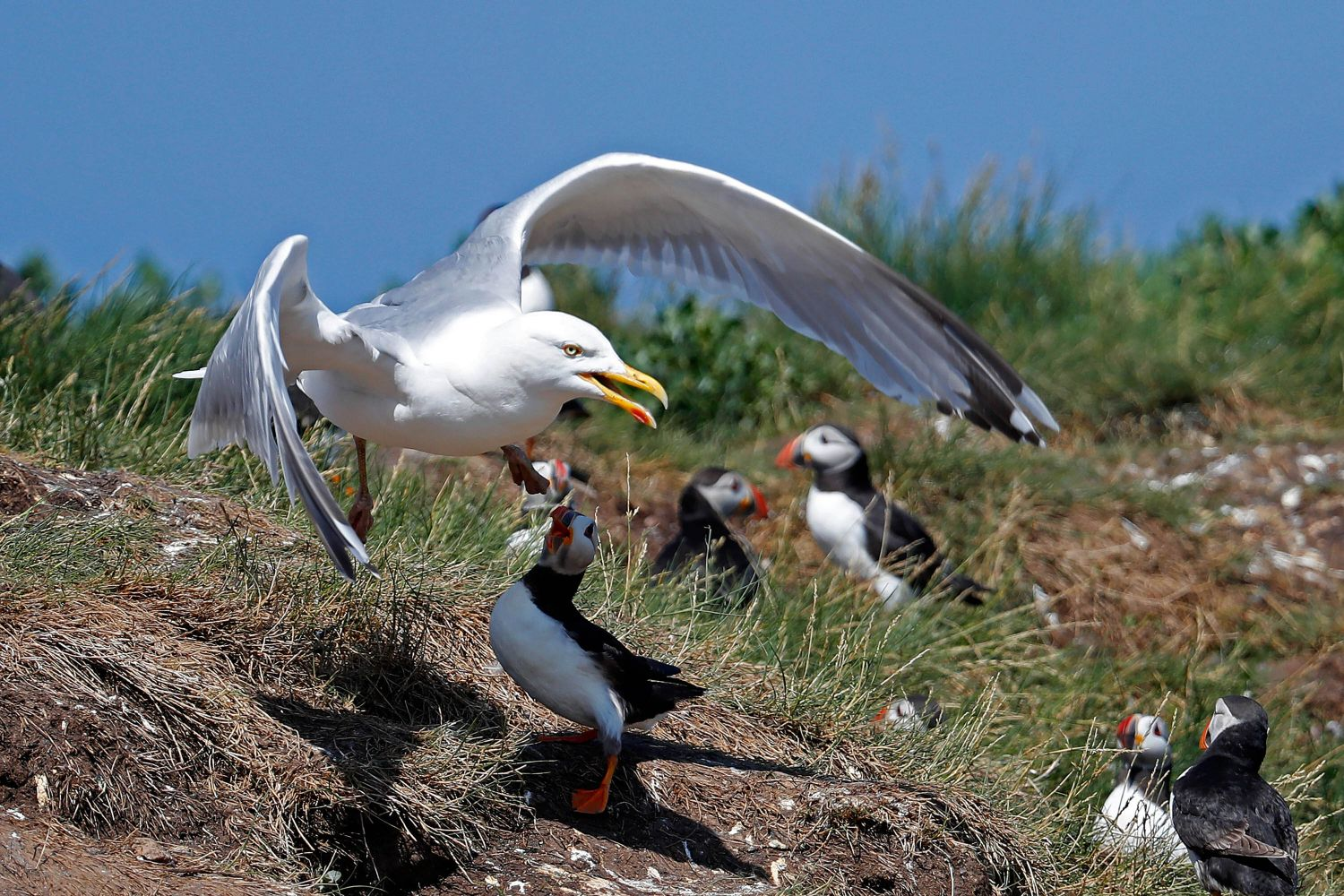 Gull versus Puffins a battle on the Farne Islands