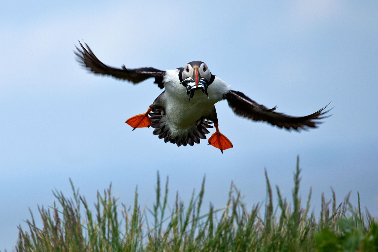 Puffin landing on Outer Farne ladened with sand eels