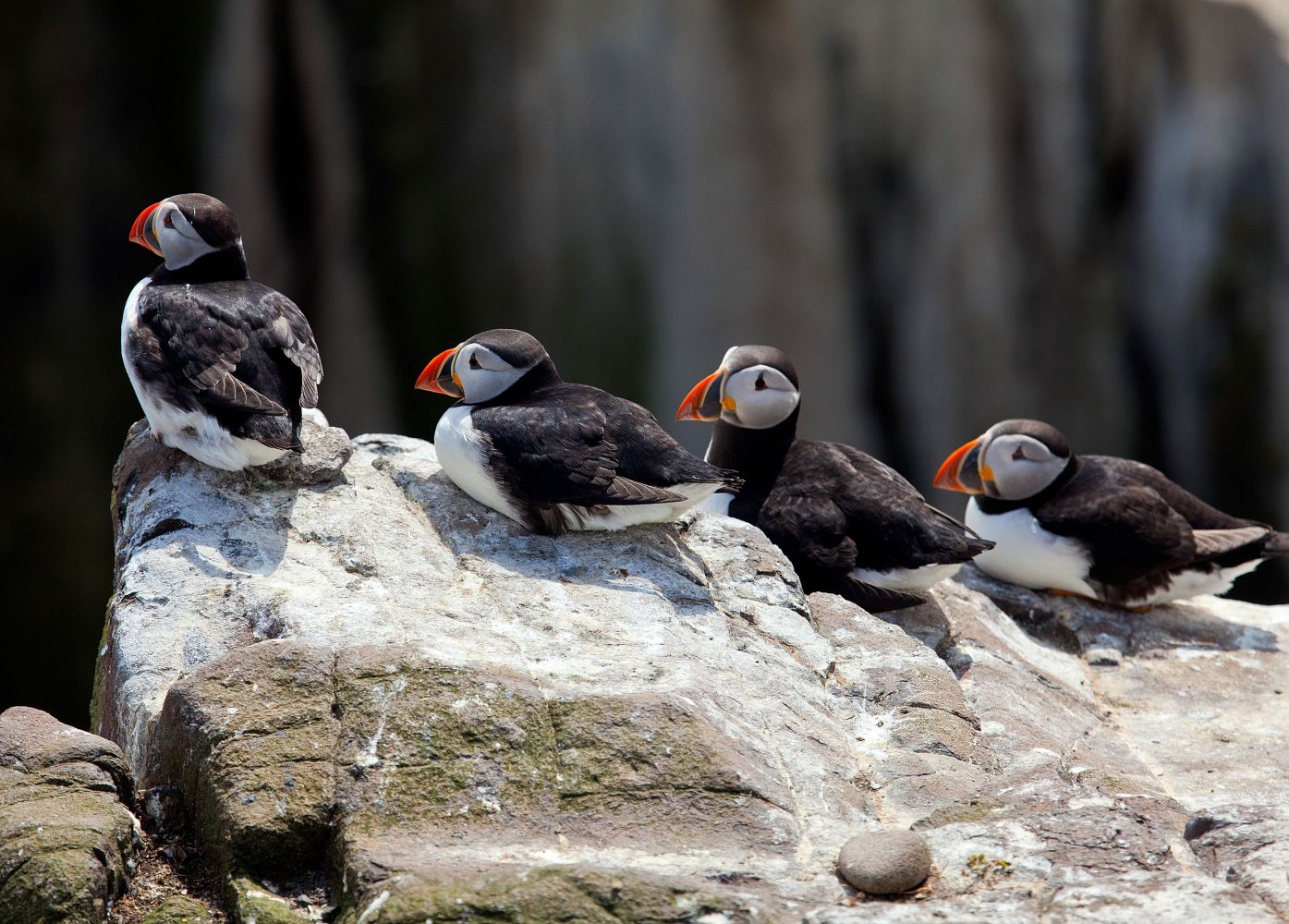 Puffins on Outer Farne Island waiting to take off