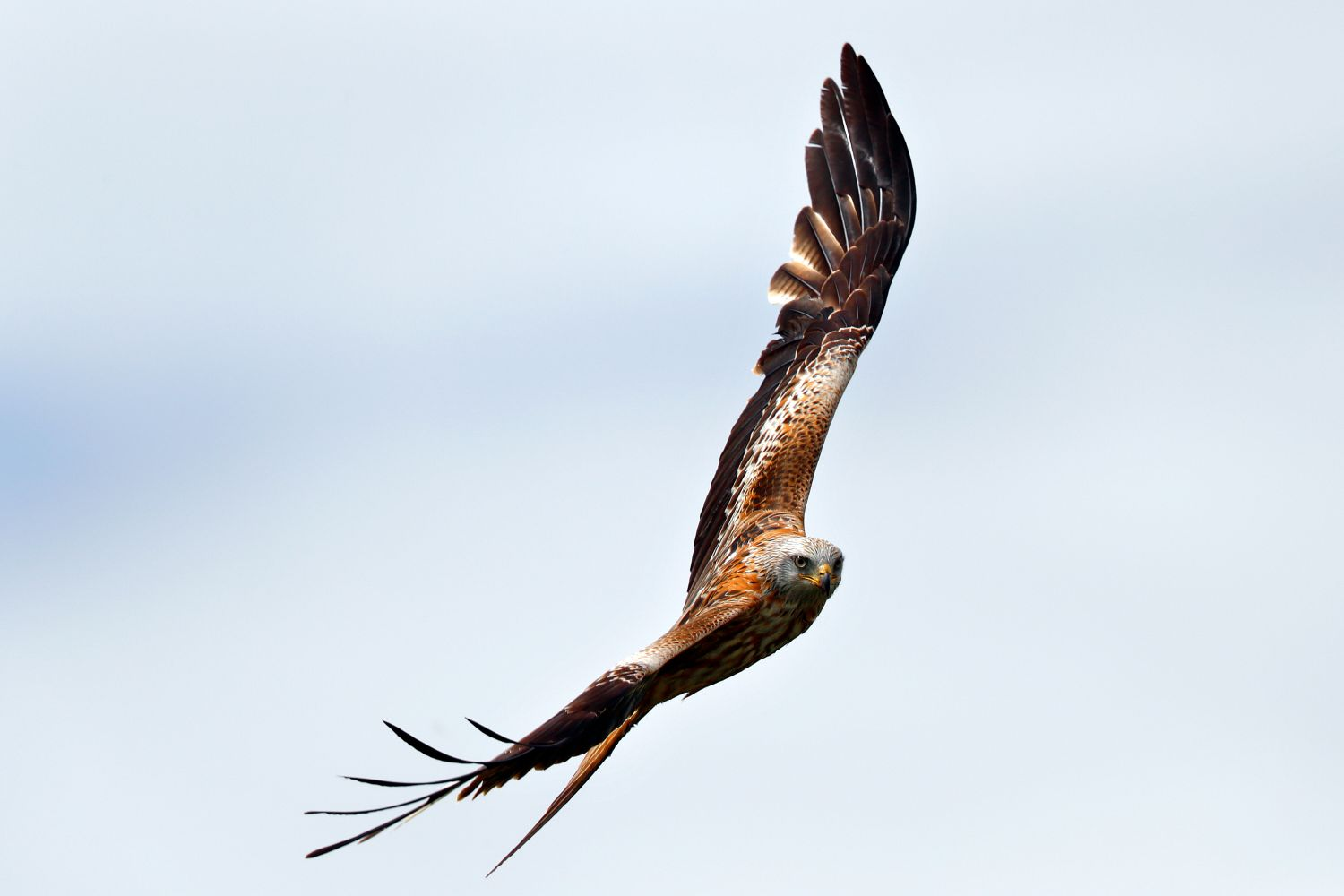 Red Kite flying around the skies of Dumfries and Galloway