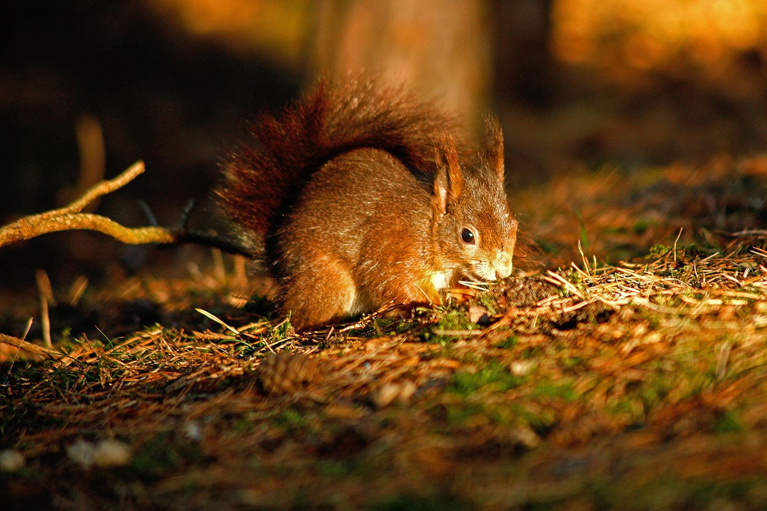 Red Squirrel playing in autumn sunshine at Grizedale Forest