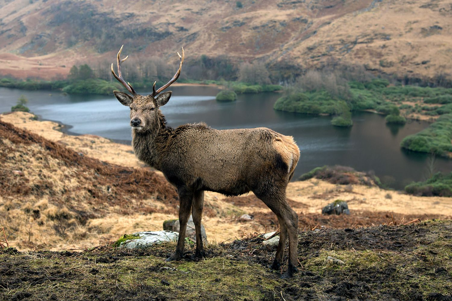 The Glen Etive Stag