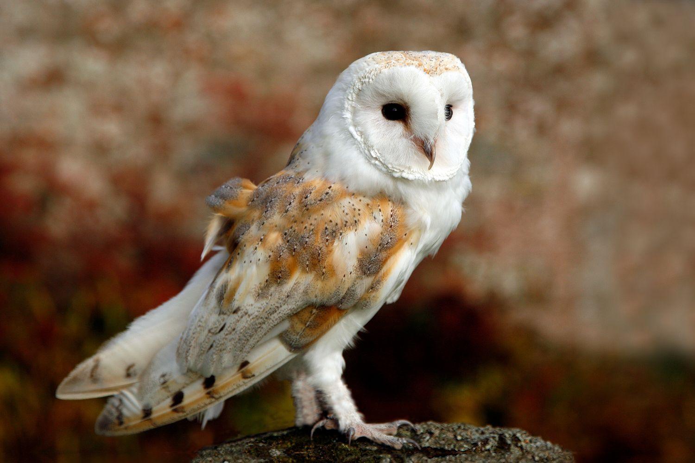 Young barn owl