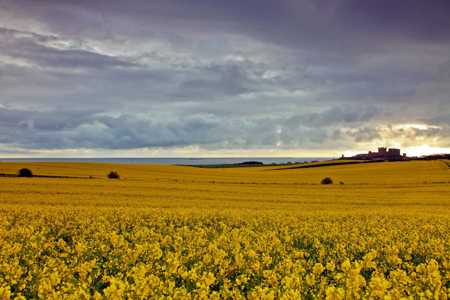 Rapeseed fields at Bamburgh, Northumberland