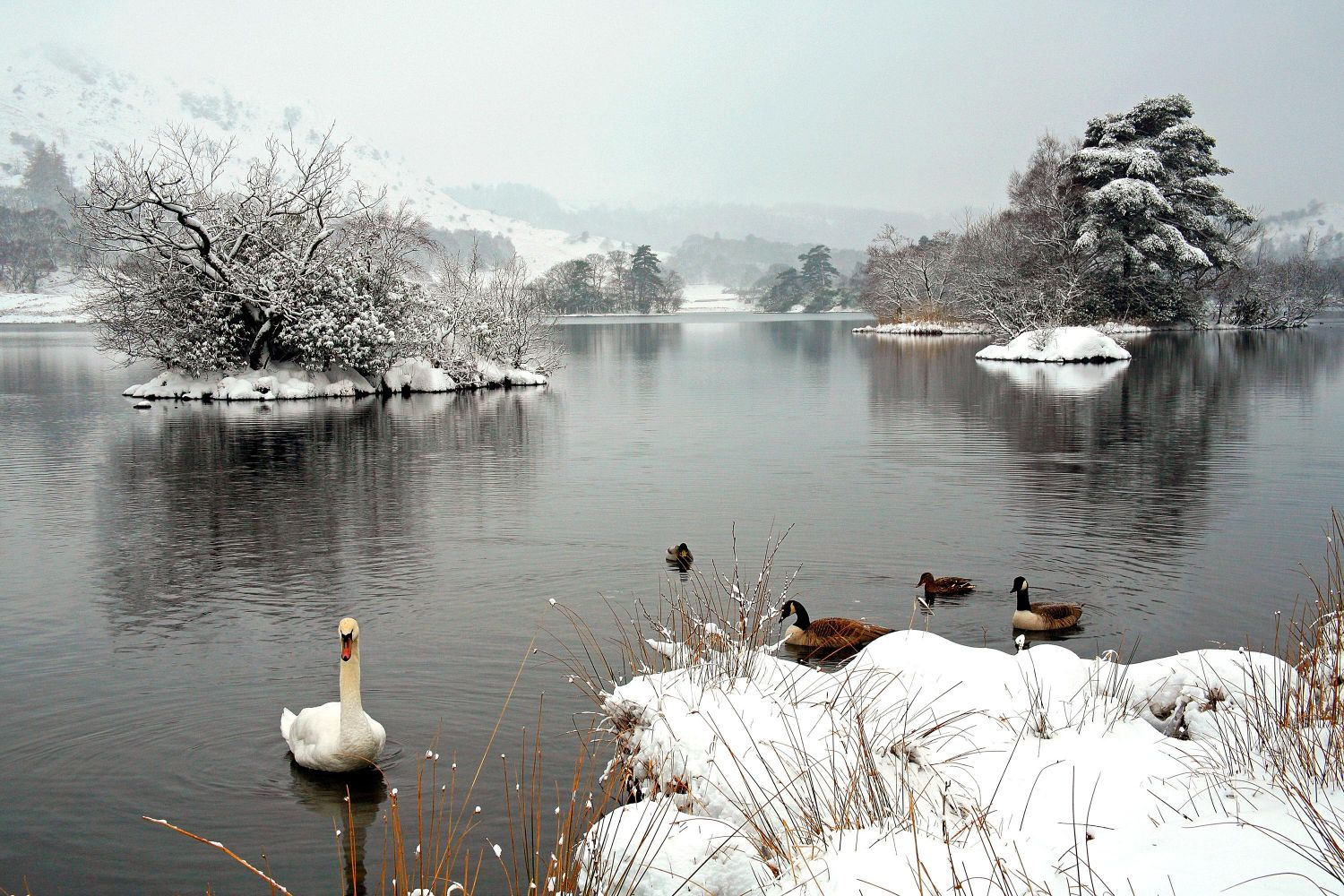 A beautiful swan and geese taken at Rydal Water after very heavy snow