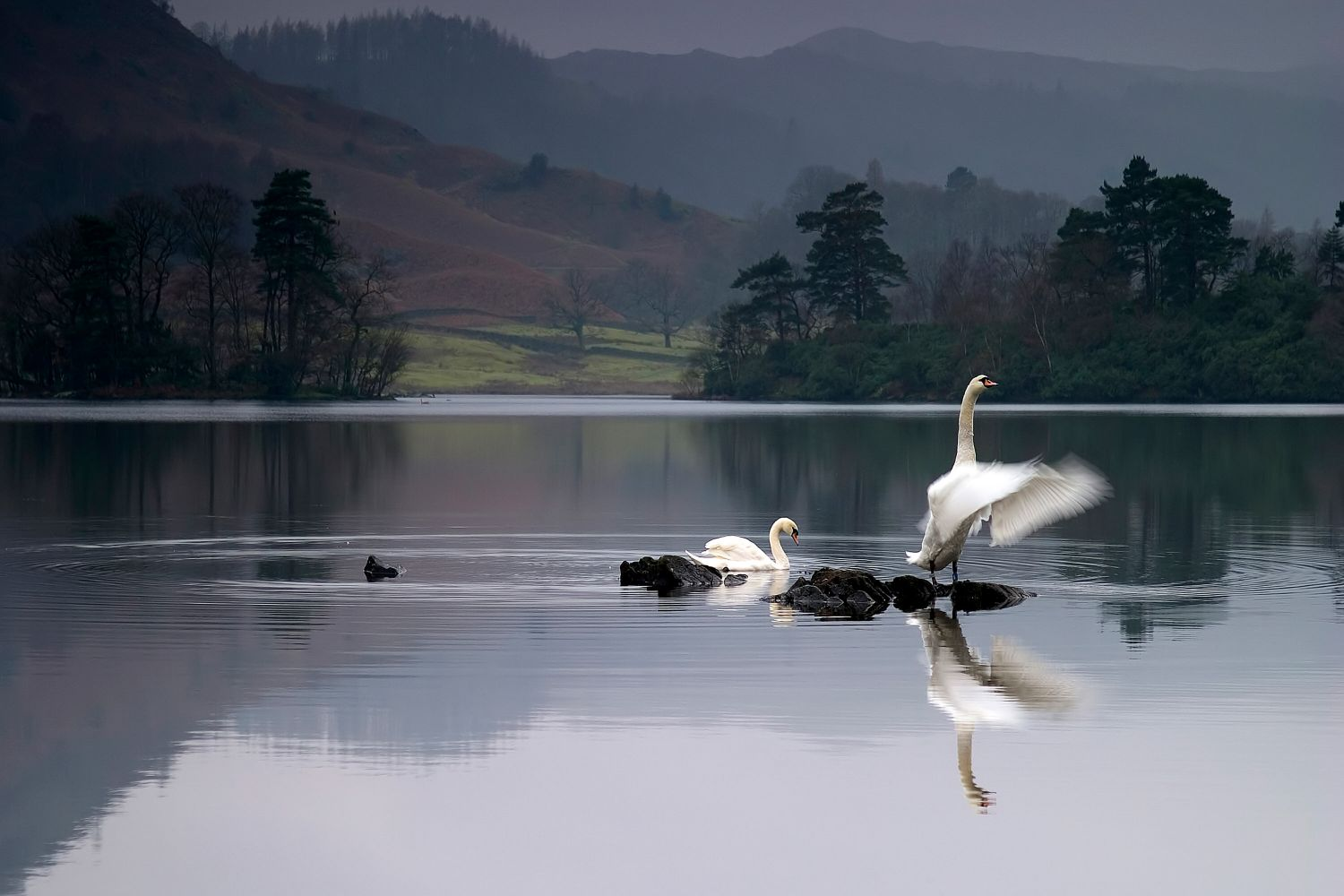 A pair of swans displaying at Rydal Water in the English Lake District