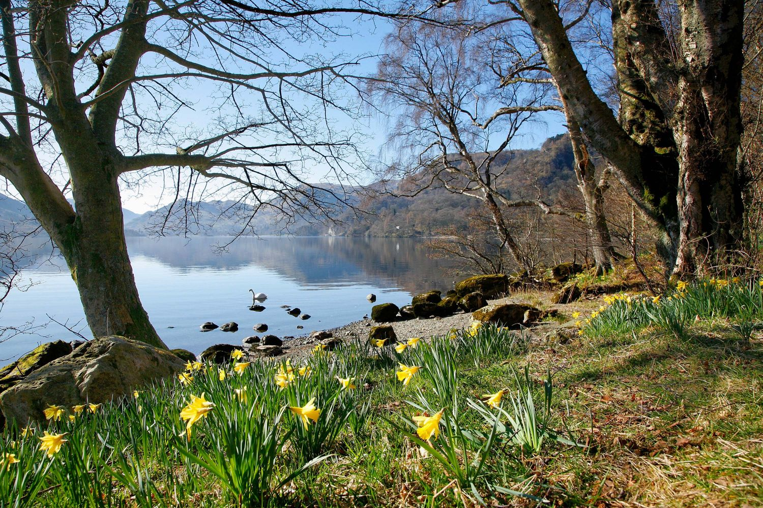 Daffodils at Wordsworth Point, Ullswater