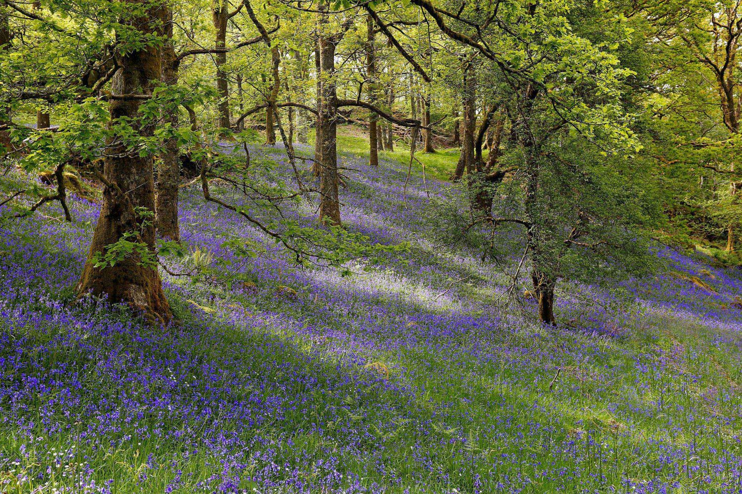 The bluebell woods at Brock Mill