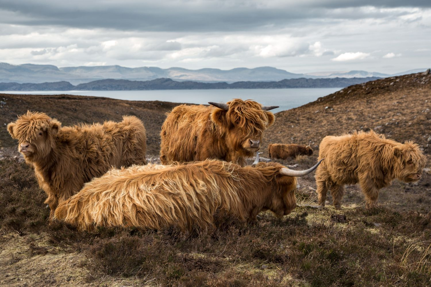 Highland Cattle on the road to Applecross