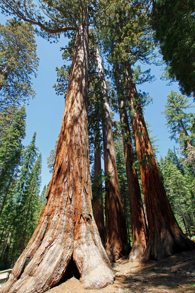 The Batchelor and Three Graces, Mariposa Grove, Yosemite National Park