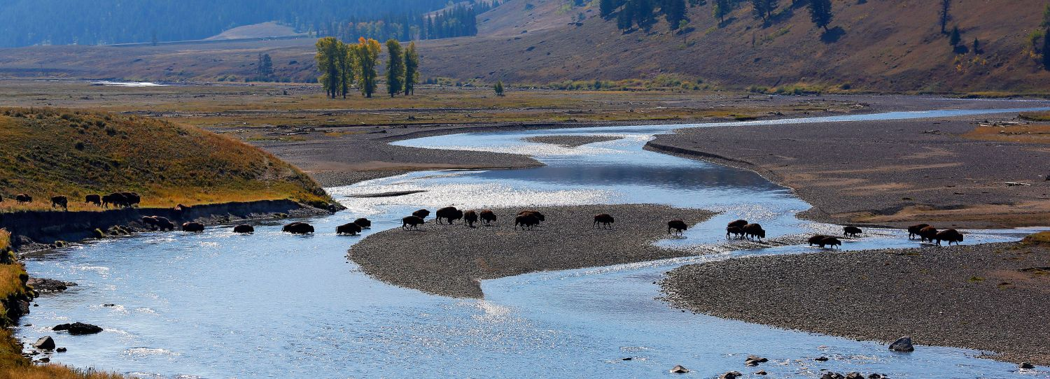 Line of Bison, Lamar Valley, Yellowstone National Park