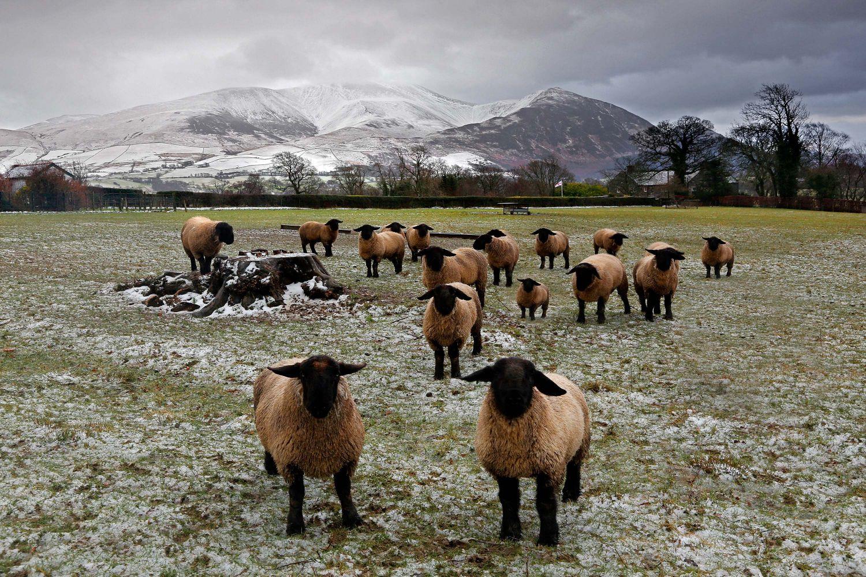 Suffolk Sheep at Bassenthwaite