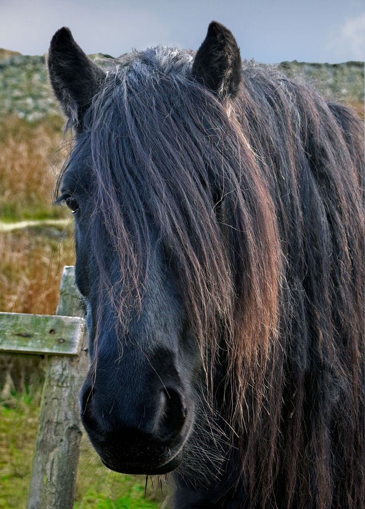 Cumbrian Fell Pony at Tewet Tarn