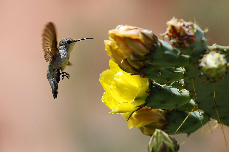 Hummingbird feeding on a desert cactus