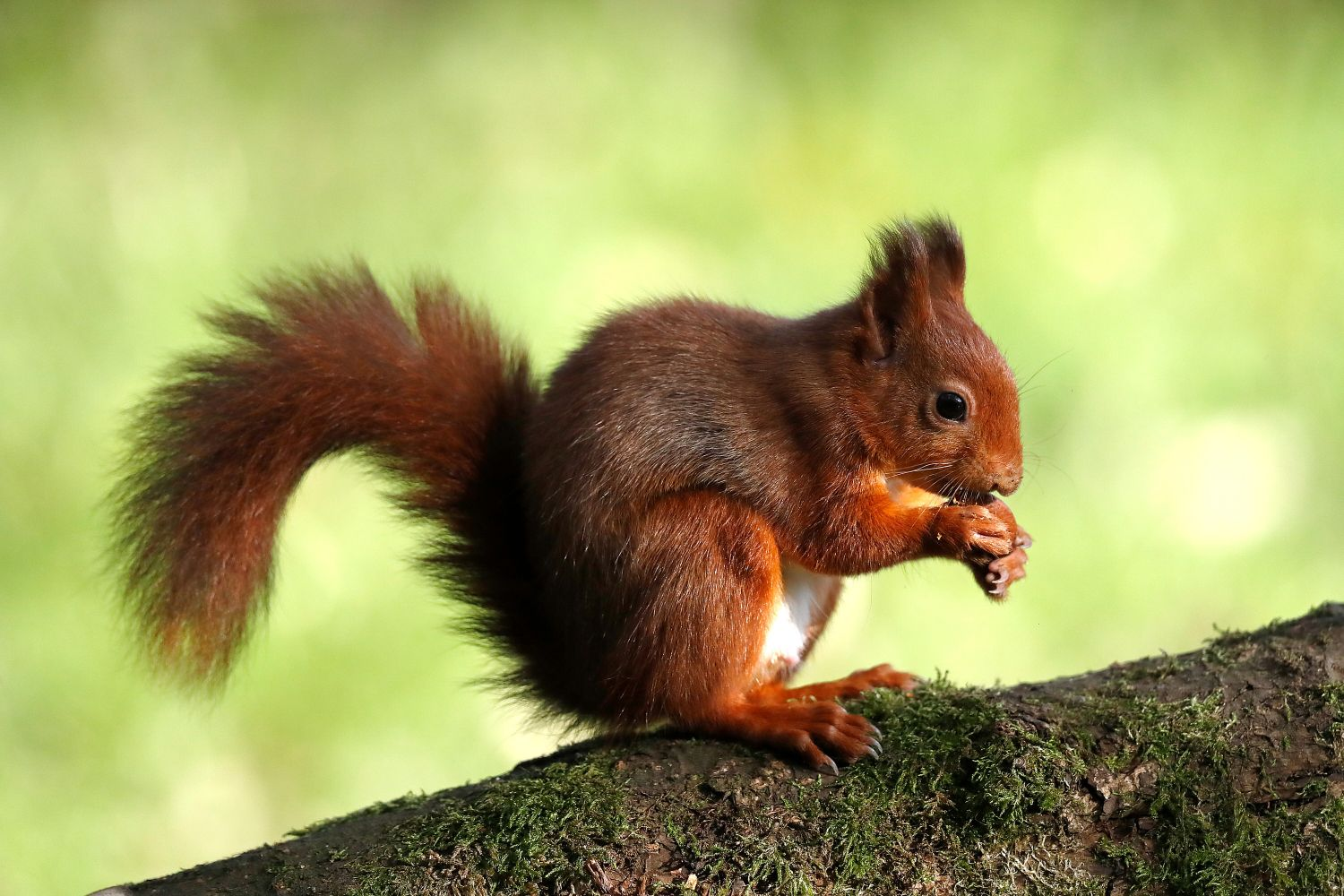 Lakeland Red Squirrel feeding on beech nuts ready for winter