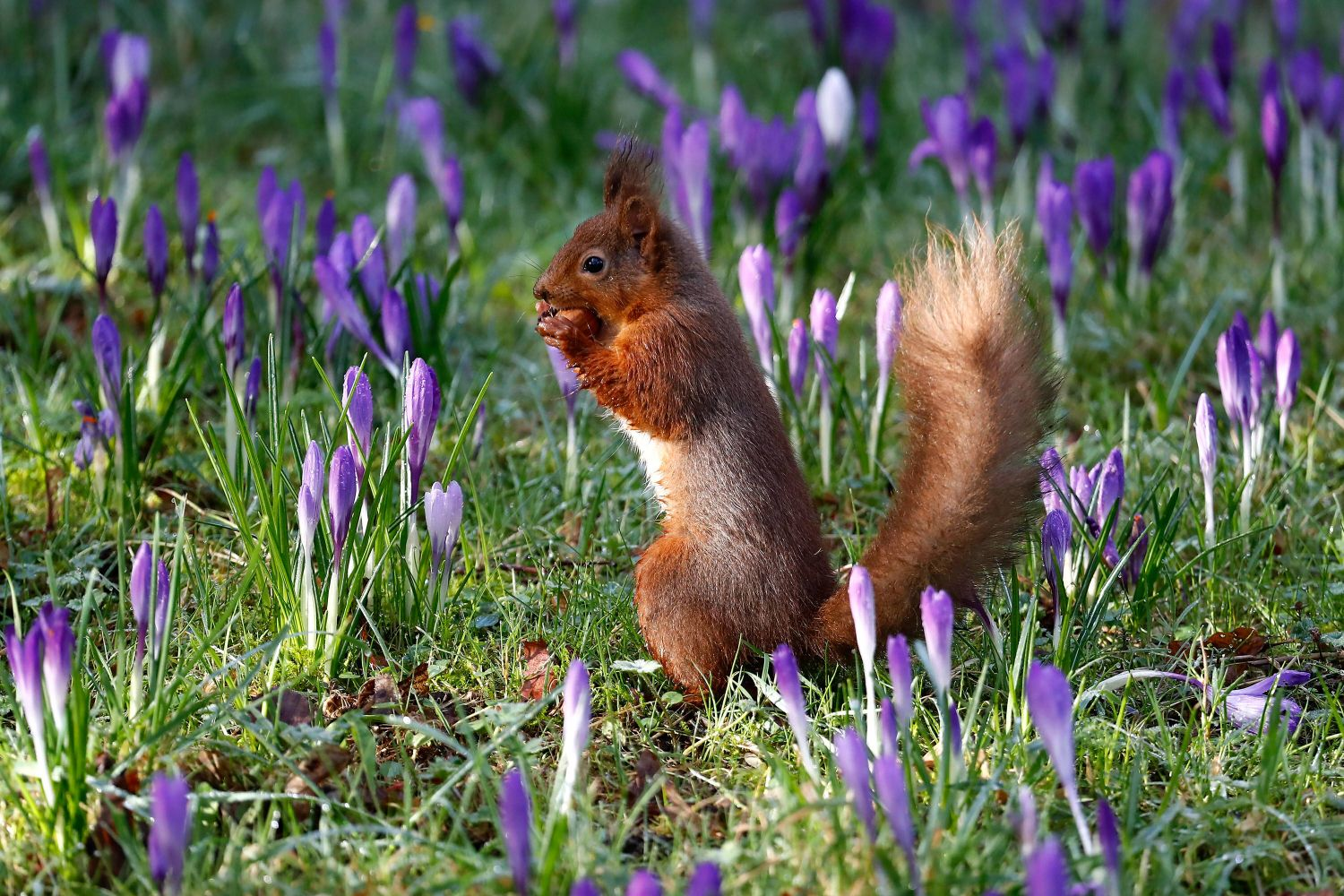 Red Squirrel in a bed of purple crocus